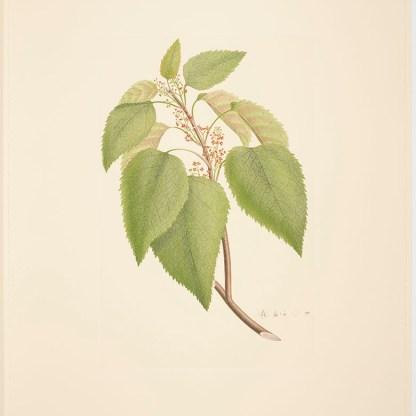 Aristotelia serrata (J.R.Forst. & G.Forst.) W.R.B.Oliv; Plate 419