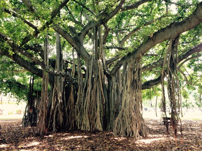 ホノルルの木。