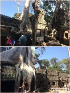 5000人あまりの僧侶が暮らし、600人を超える踊り子が住んでいたとされるタ・プローム寺院。しかし、アンコール王朝の衰退とともに人々は去り、19世紀後半に発見されるまで、数百年の間密林に眠り続けていました。 覆い被さる巨木(ガジュマル)はまるで遺跡を食べているようです。