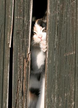 Cat behind planks