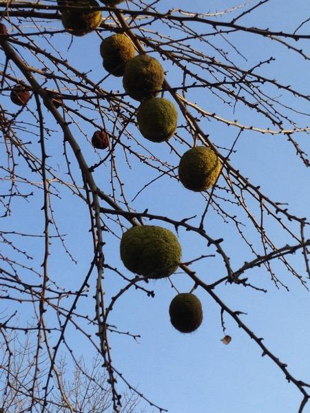 Uzbek fruit