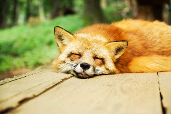 Sleepy fox does a blep.