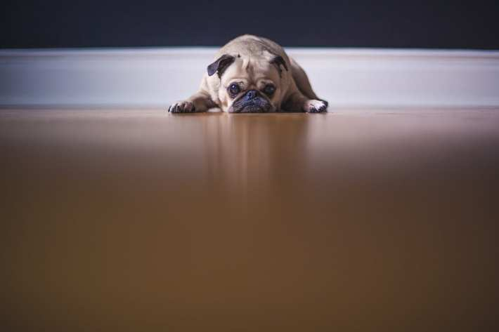 A very sad-looking pug.