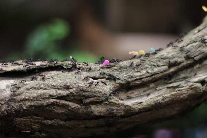 Several ants walking along a log.