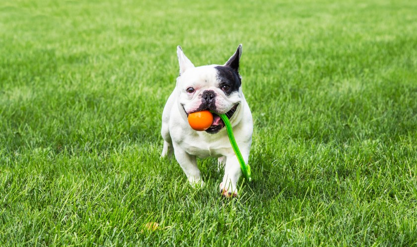 A black & white french bulldog is seen running in a field with a 4BF rubber ball & robe tug toy in its mouth