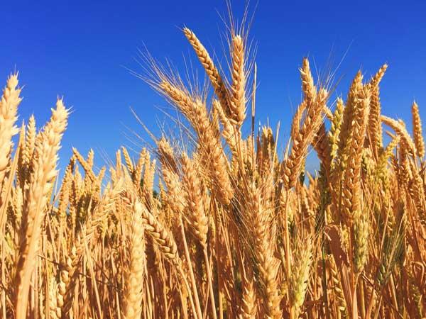 Barley - Beerhead 101