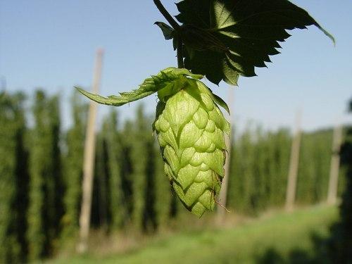 Hops - Beerhead 101
