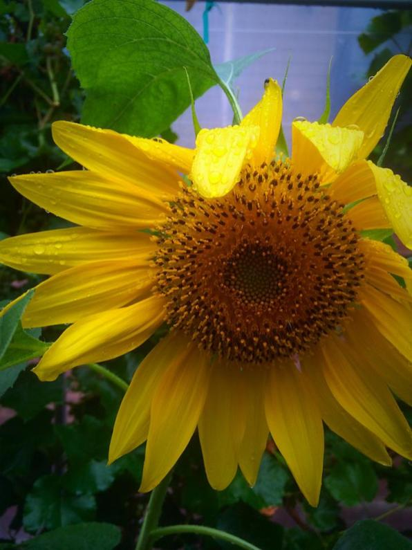 This gorgeous sunflower (grown from last year's sunflower seeds), extends a petal in greeting.