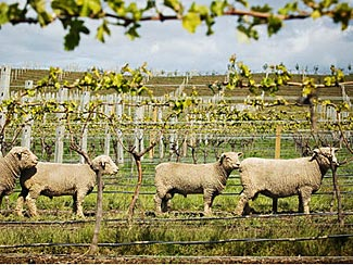 Some of NZ's omni-present sheep in among the vines in Marlborough.