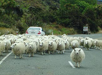 While now a sophisticated destination in many respects, the NZ version of a traffic jam is sure to bring a smile to your lips.