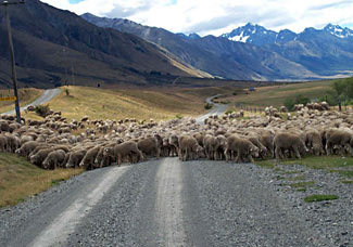 Come experience a New Zealand style traffic jam on our Travel Insider tour of NZ this Oct/Nov.