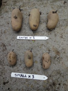 Potato trials - Large vs small tubers