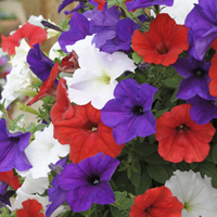 Petunia 'Easy Wave Union Jack Mix'