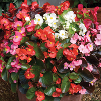 Begonia 'Organdy Mixed' F1 Hybrid