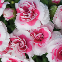 Dianthus 'Strawberry Cream'