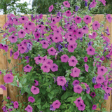 Photo competitions - Petunia 'Purple Tower'