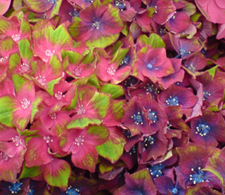 Hydrangea 'Glam Rock' - colour changes in different soils