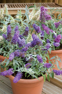 Buddleja Buzz Collection - help save the butterflies