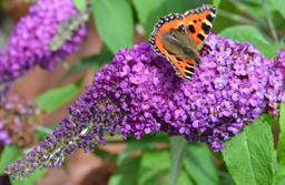How to encourage butterflies into your garden