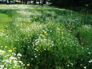 Harry Cook - wildflower planting in our area UPDATED 30th July