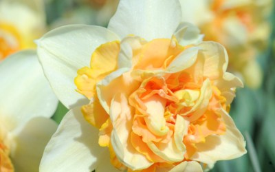 When to plant daffodil bulbs for the best blooms