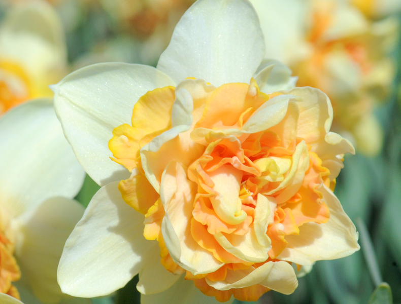 Narcissus 'Peach Cobbler' from T&M