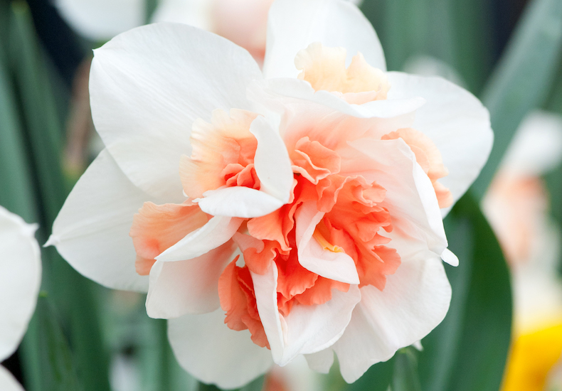 Narcissus 'Replete Improved' from T&M