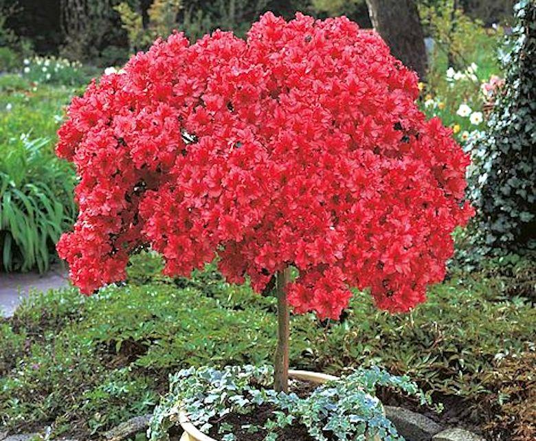 Spring flowering Azalea 'Japanese Red' from T&M