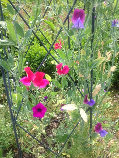 Petunias and a bit of plant snobbery