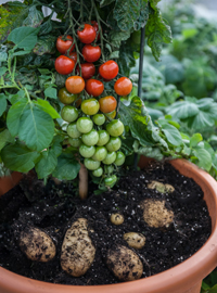 World exclusive TomTato® - harvest potatoes AND tomatoes from the same plant! Only from Thompson & Morgan
