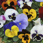 Top 10 winter bedding plants