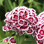 Top 10 winter bedding plants