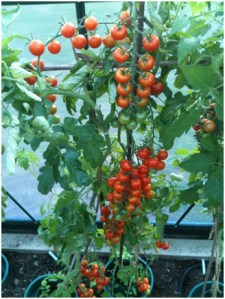 This summer I had great success with my tomato plants!