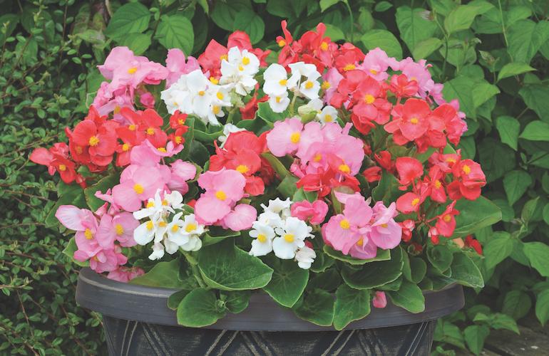 Begonia semperflorens 'Lotto Mixed' from Thompson & Morgan