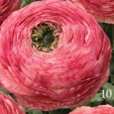 Ranunculus-XXL_Polka