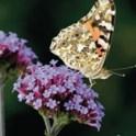 Pollinator Plants