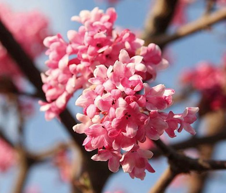 Viburnum x bodnantense 'Dawn' from T&M