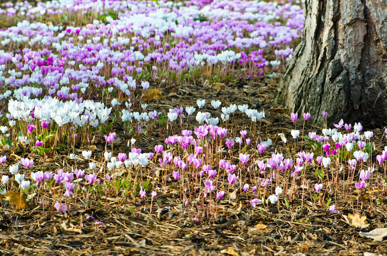 Purple, pink and white cyclamen