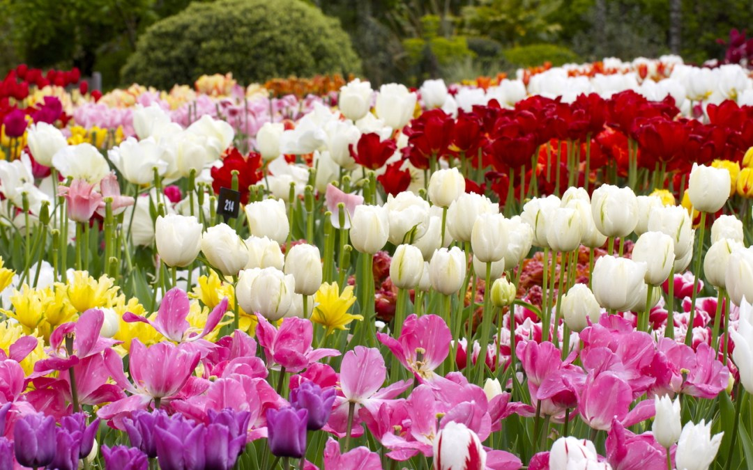 Tulip bulbs – never too late for tulips!
