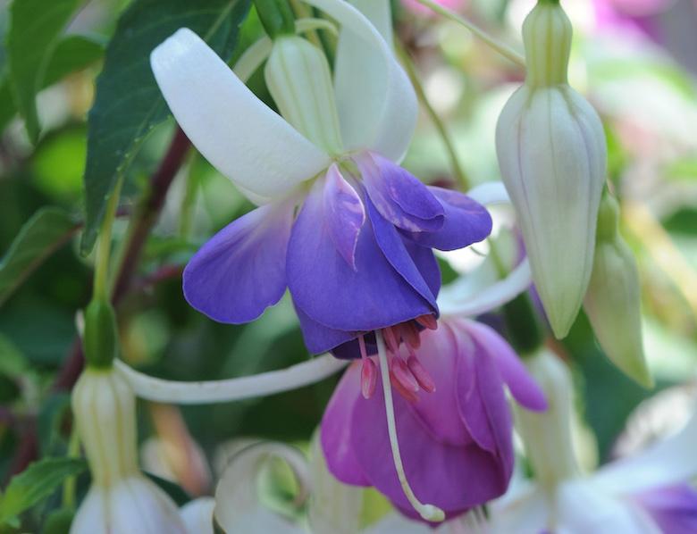 Fuchsia 'Delta's Sarah' from Thompson & Morgan