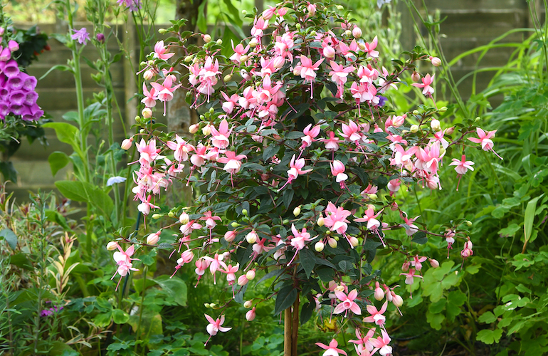 Fuchsia 'Elma' (hardy) standard from T&M