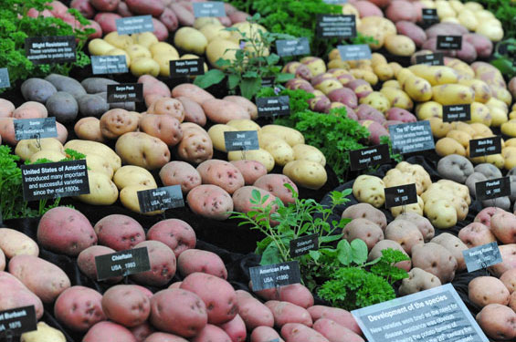 potatoes win gold at chelsea