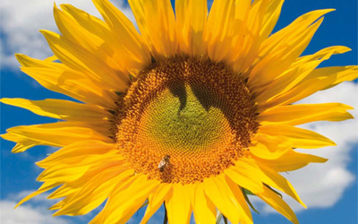 Reward launched for UK's tallest sunflower