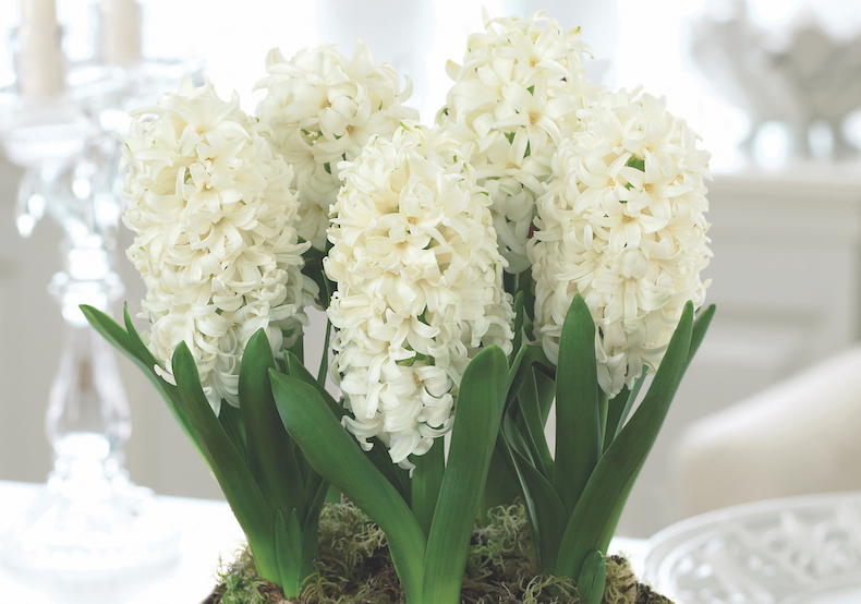 Hyacinth 'White Pearl' from T&M