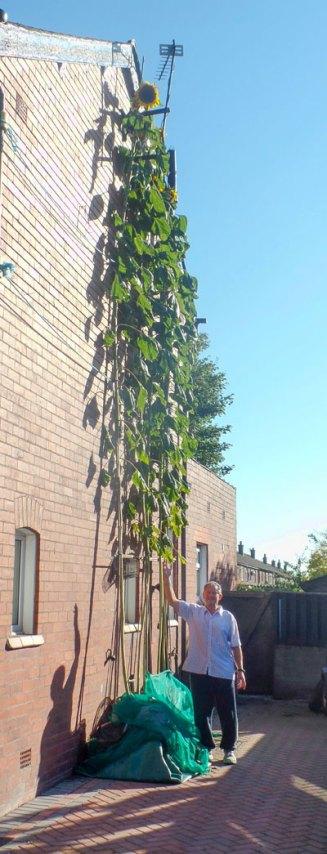 Tallest Sunflower Thompson & Morgan