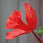 Begonia-Daffadowndilly