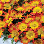 Bidens-BeeDance-Painted-Red