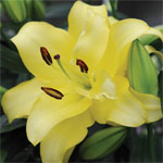 Lily Exotic Sun