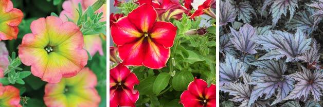 Petunia 'Cremissimo', 'Peach Sundae' and Begonia 'Garden Angels'