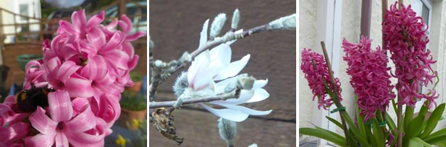Jean's Bumblebee Hyacinth, Magnolia 'Susan' and Hyacinth